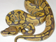 Hatchling orange ghost morph ball python. CC-licensed image from: https://commons.wikimedia.org/wiki/File:Orange_Ghost_%28Hypomelanistic%29_Ball_Python.jpg
